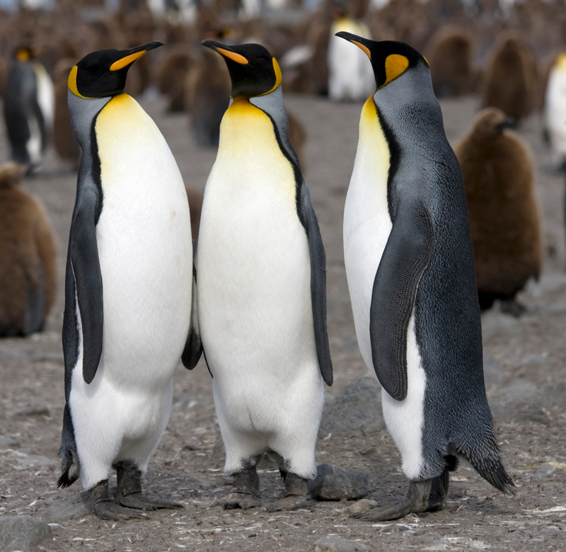king-penguins